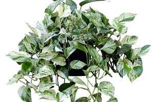 Golden Pothos removes indoor chemicals