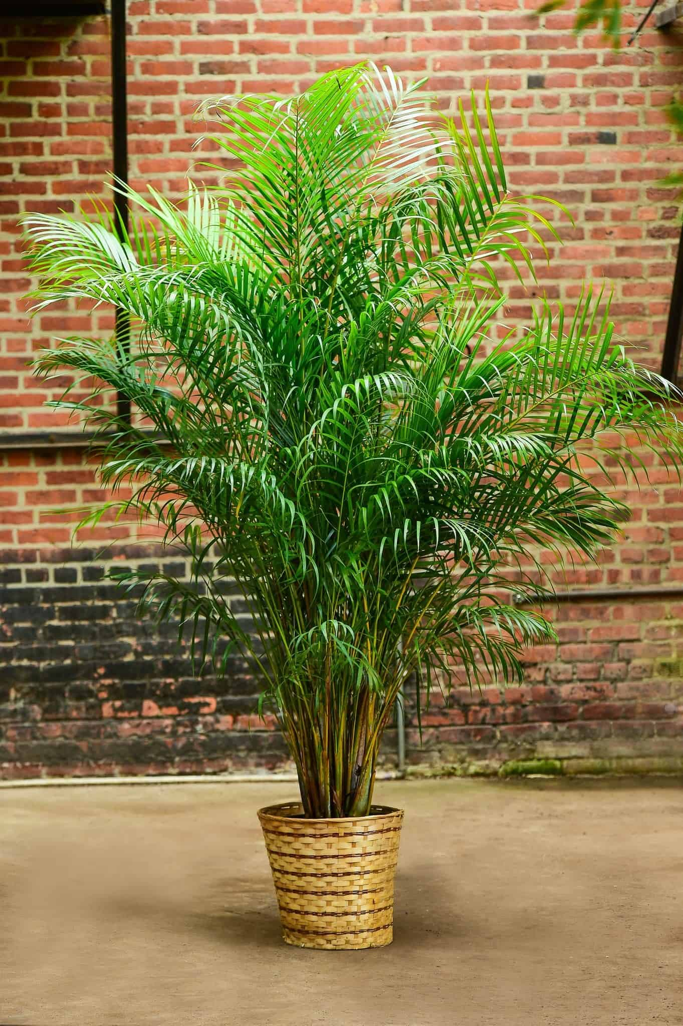 The Most Efficient Humidifier: Areca Palm