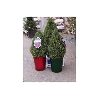 Rosemary Christmas Topiary