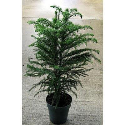 Norfolk Island Pine - The Indoor Christmas Tree
