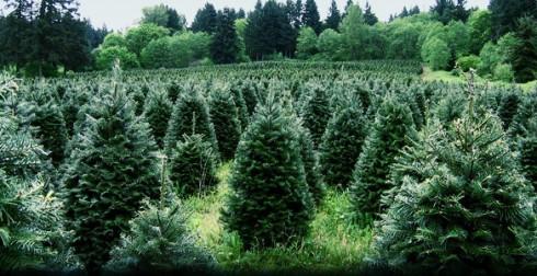 Organic Christmas Tree Farms