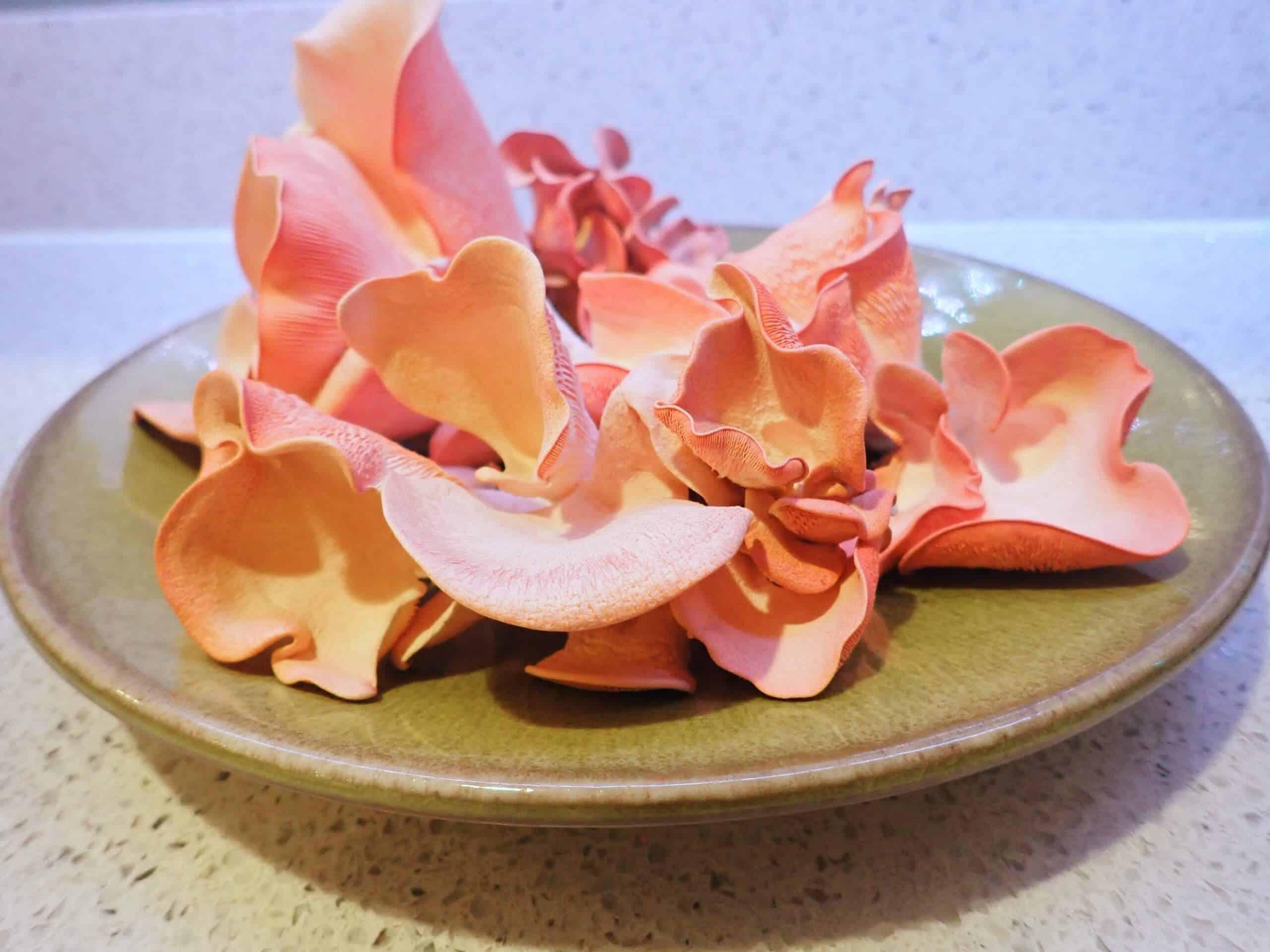 A Harvest of Edible Pink Oyster Mushrooms (Pleurotus Djamor)